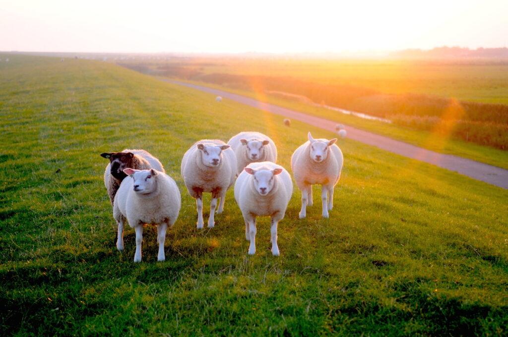 sheep on schiermonnikoog